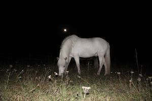 Min islandshäst Asi och fullmånen har samma färg.