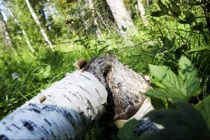 En avgnagd björk. Bävern ger sig på alla typer av lövträd, men rör inte barrträd.