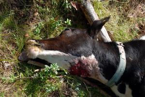 Halsbett. Den enda synliga skadan på den dödade kalven är ett kraftigt bett i halsen.