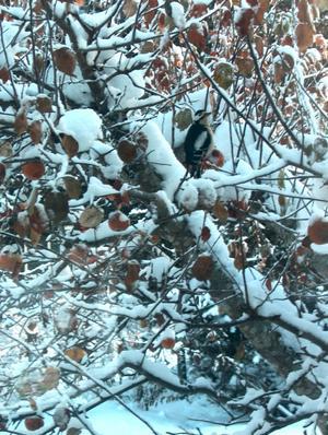 Bilden tagen genom köksfönstret. Trädet och fågeln finns i Irsta. Fotograf är Bosse Lundberg.