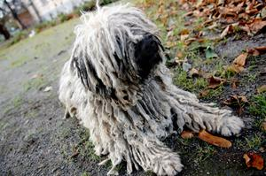 Puli, ungersk vallhund. Hunden på bilden har inget med artikeln att göra.