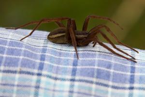 Efter det att jag jobbat vid Mälarens strand fick jag sällskap av en större kärrspindel (Dolomedes plantarius) på min skjorta. Det är en av Sveriges största spindlar. Den här var knappt 6 cm. Den satt snällt kvar på skjortan medan jag gick upp till huset och bad min fru Maria fotografera spindeln. Som barn var jag rädd för spindlar, men det verkar ha gått över..