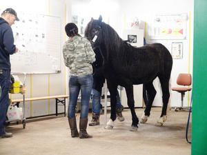 Linda Pettersson kom från Stöde med sin häst av rasen American Curly, här inne på veterinärbesiktning.