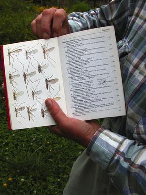 Mygg av olika slag. I boken visar Bengt upp en rad olika arter av mygg som finns i Sverige. Foto:Lovisa Svenn