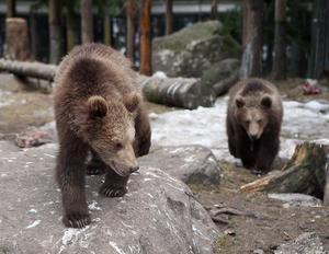 Björnangrepp mot biodlingar var den vanligaste rovdjursattacken under 2013.