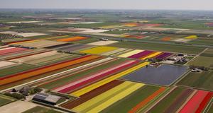 Tulpanfält nära Noordwijk.