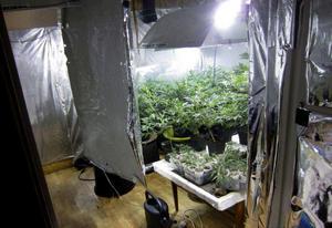 Cannabis, polisens beslag hos ett par i Sollefteå kommun i maj 2016.