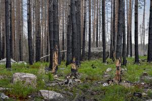 Ett år efter skogbranden omvandlades en del av området till ekopark. Arkivbild.