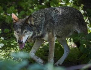 De svenskarna vargarna kan orsaka skada för enskilda individer, men som helhet har tamdjurshållning, renskötsel och jakt kunnat fortgå och till och med utvecklats i takt med att vargstammen fortsatt att växa.