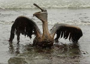 Varför skall råoljan slippa krav? Har vi inte sett att det är på fossilsidan som kraven behövs mest, efter BP:s miljökatastrof (bilden), Lundin Oils agerande i Sudan och Shells många år av tveksamheter  i Nigeria?Foto: scanpix