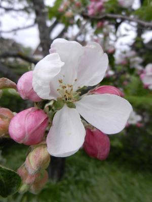 Och äppelträdet det blomma´