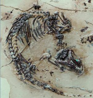 Det 125 miljoner år gamla fossilet är så välbevarat att forskarna till och med kunnat analysera djurets päls, som på bilden syns som en svag skugga runt skelettet.   Foto: George Oleschinski/TT