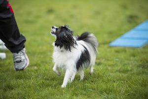 Agilityn kräver både lydnad och initiativ från hundar.