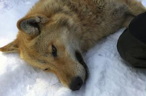 Tåssåsenvargen infångad och sövd inför första flytten den 21 mars 2011.