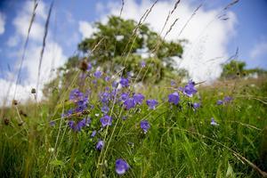 Nu är det gräsblomningen i hela landet, vilket kommer att pågå till september. Foto Adam Ihse / TT