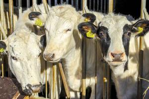 Kommunen ska upphandla kor från Härjedalen för att kunna servera lokal mat på tallrikarna i skolorna och omsorgen. Korna på bilden är inte kommunala kor.