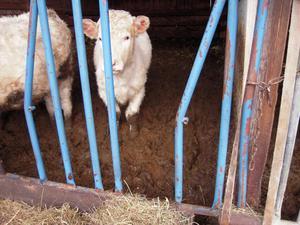 Ligghall där köttdjurskalvarna vadar i gödsel.