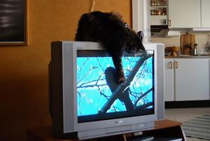Min katt My blev väldigt förvirrad när det var en massa fåglar på TV:n och hon försökte länge att fånga dem.