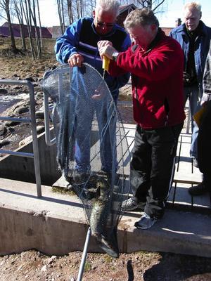 Fiskkoll. En gädda på sju kilo kunde Åke Svan från fiskevårdsområdesföreningen konstatera. Den här firren fick