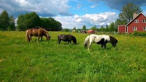 Våra tre hästar,islänningen Frey,i mitten Smulan och hennes son Sixten