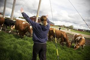 När det sista gänget släpps ut från ladugården springer tre kor rakt emot mig där jag står vid staketet, jag viftar och ropar åt de men de verkar inte vilja ändra riktning.
