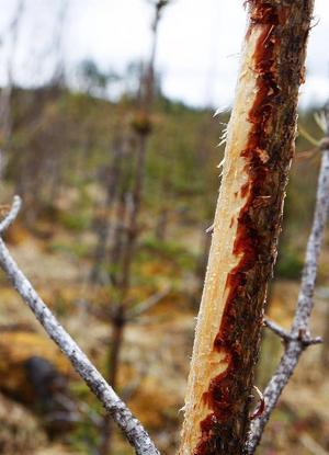 Bristen på mat de gångna vintern har tvingat älgarna att till och med äta bark.